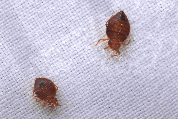 What are Bed Bugs and How Can They be Controlled?