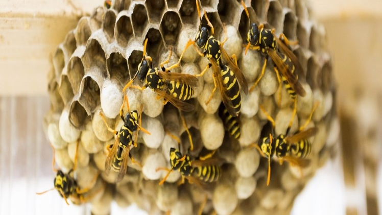 Wasp Nest Removal and How to Remove the Wasp Nest